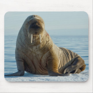 Walrus rests on summer sea ice mouse mat