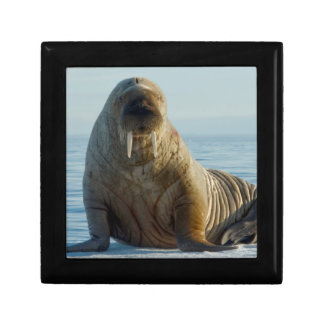 Walrus rests on summer sea ice small square gift box