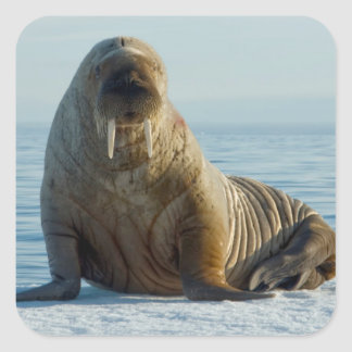 Walrus rests on summer sea ice square sticker