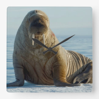 Walrus rests on summer sea ice square wall clock
