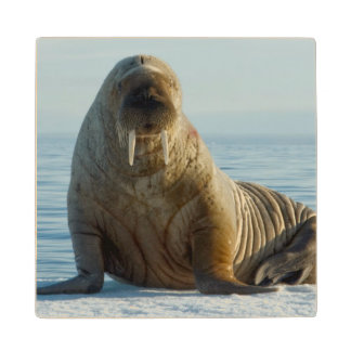 Walrus rests on summer sea ice wood coaster