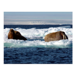 Walruses in Storoya Svalbard Postcard