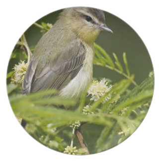 Warbling Vireo (Vireo gilvus) foraging on South Dinner Plates