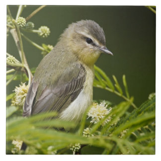 Warbling Vireo (Vireo gilvus) foraging on South Large Square Tile