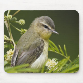 Warbling Vireo (Vireo gilvus) foraging on South Mouse Mat