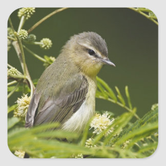Warbling Vireo (Vireo gilvus) foraging on South Square Sticker