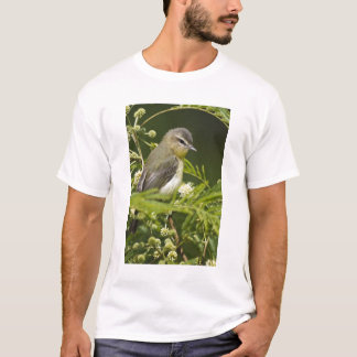 Warbling Vireo (Vireo gilvus) foraging on South T-Shirt