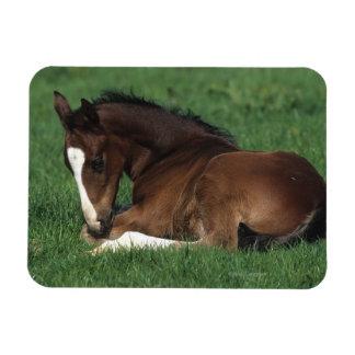 Warmblood Foal Laying Down Rectangular Photo Magnet