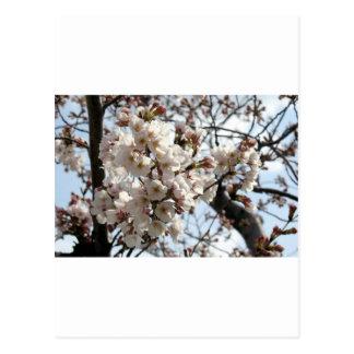 Washington DC Cherry Blossom Postcards