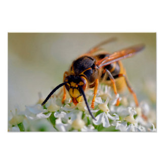 Wasp on white flower poster