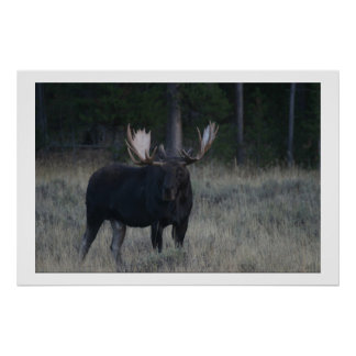 Watchful Moose Poster