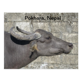 Water Buffalo Postcard