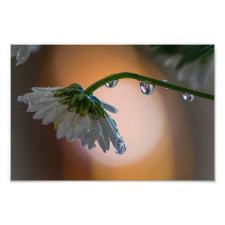 WATER DROPS ON A WHITE DAISY by Michelle Diehl Photo Art
