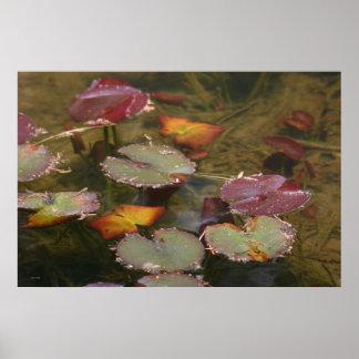 Water Lilies, Big Springs Gardens Poster