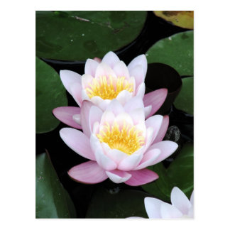 Water Lilies Postcard