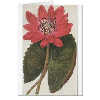 Water lilly Nymphaea Rubea Card