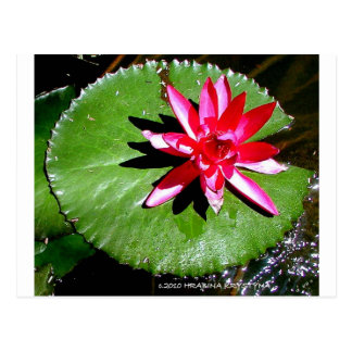 WATER LILY 1 POSTCARD