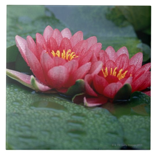 Water Lily 2 Large Square Tile