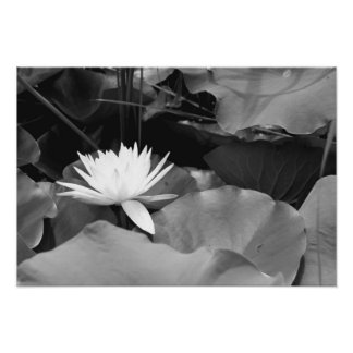 Water Lily Among Lily Pads Poster