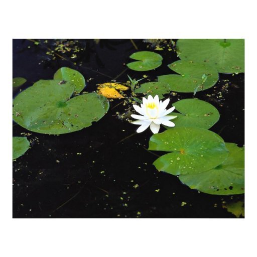 Water lily, Ile du Marais, Ste-Catherine-de-Hatley Full Color Flyer