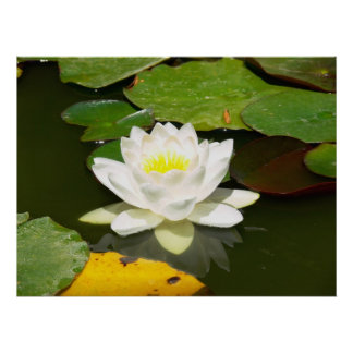 Water Lily in Bloom Print