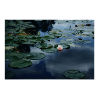 Water Lily in bloom Posters