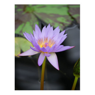 Water Lily Lotus Postcard