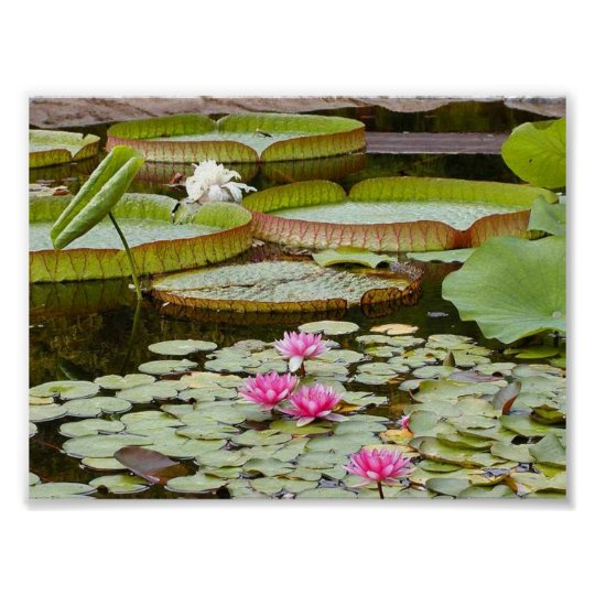 Water Lily Pads Ponds Poster