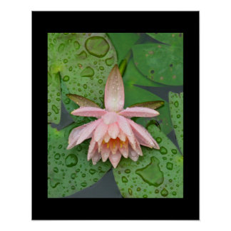 Water Lily Posters