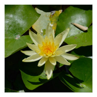 water lily square Poster