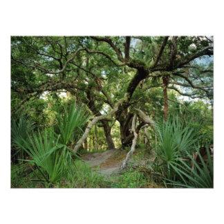 Water Oak. Three Lakes, Osceola Co., Fl. Photo Art