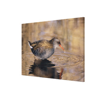 Water Rail, Rallus aquaticus, adult feeding in Canvas Print