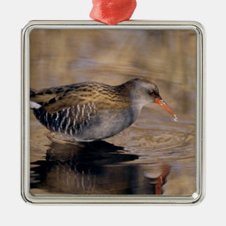 Water Rail, Rallus aquaticus, adult feeding in Christmas Ornament