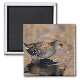 Water Rail, Rallus aquaticus, adult feeding in Magnets