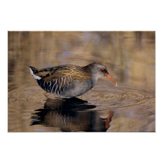 Water Rail, Rallus aquaticus, adult feeding in Poster