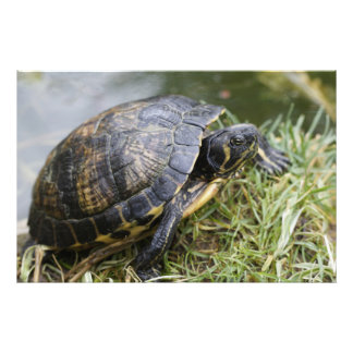 Water Turtle Photograph