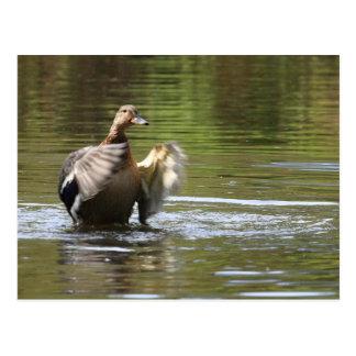 Water Walking Mallard Postcard