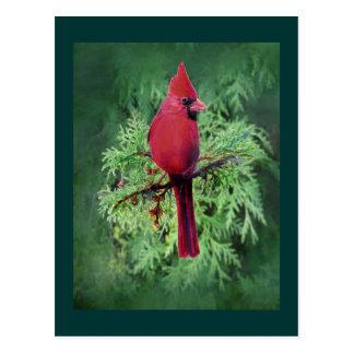 Watercolor Cardinal Bird  Cedar Tree Nature Art Postcard