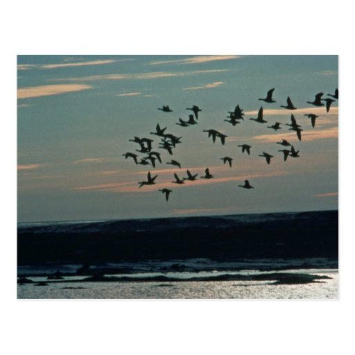 Waterfowl, Arctic National Wildlife Refuge Post Cards