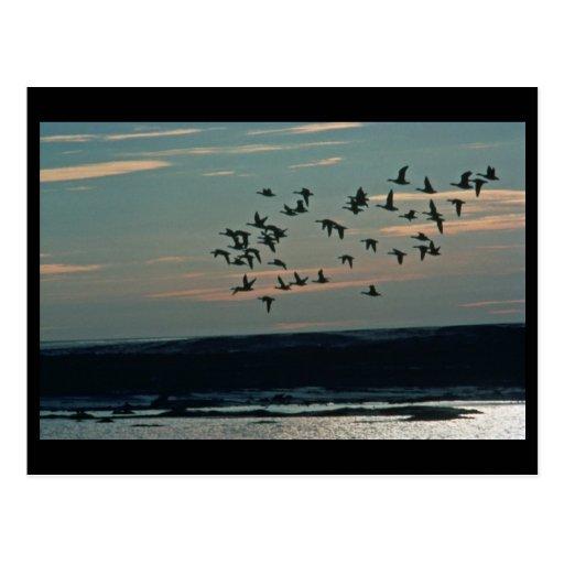 Waterfowl, Arctic National Wildlife Refuge Post Card
