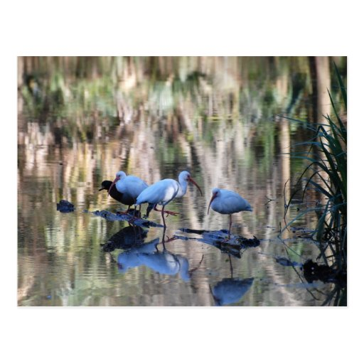 Waterfowl (Ibis and duck) post card
