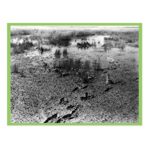 Waterfowl Survey (1951) Postcard