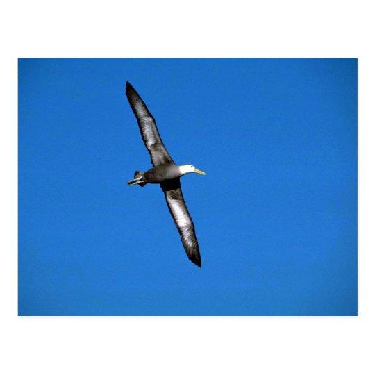 Waved Albatross In Flight Postcard