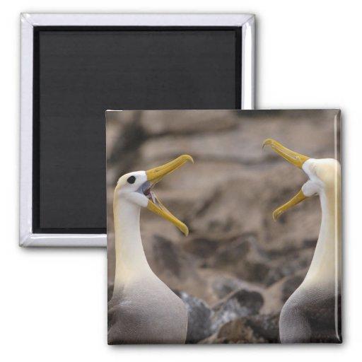 Waved albatross Phoebastria irrorata) pair in Refrigerator Magnet
