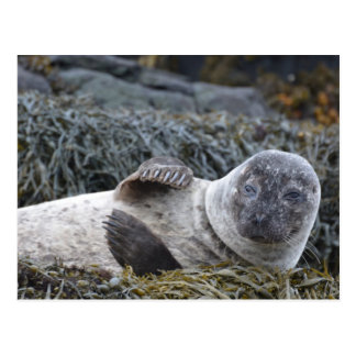 Waving Seal Postcard