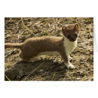 Weasel, Short-tailed Card