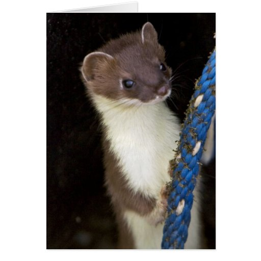 Weasel, Short-tailed Greeting Cards