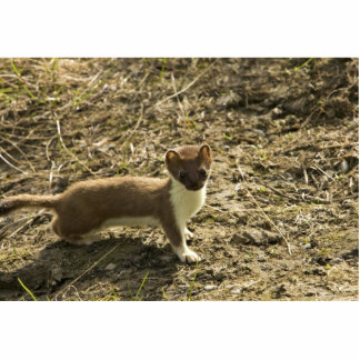 Weasel Short-tailed Photo Cutouts