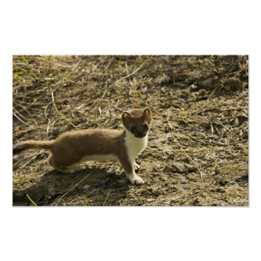 Weasel, Short-tailed Posters