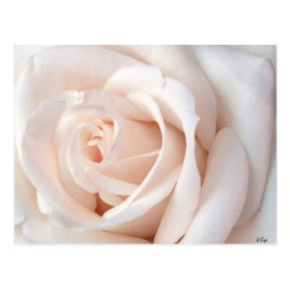 Wedding Rose Postcard